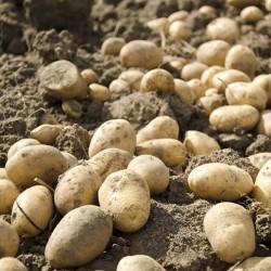 Фермерский картофель, 1 кг