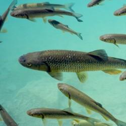 Рыба форель живая, 1 кг